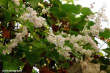 airmata-pengantin-white